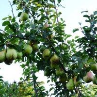 Осенние зелёные груши. :: Владимир Болдырев