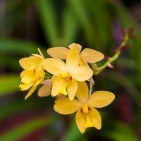 Орхидея :: Александр Коликов