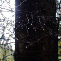 дождь в лесу. капли дождя :: elena manas
