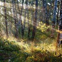 Берёзовый лес :: Сергей Добрыднев
