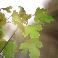 листья смородины :: Дмитрий Барабанщиков