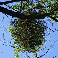 Это не рой, это омела, паразитирующее на дереве растение :: Маргарита Батырева