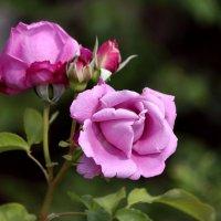 Крымские розы :: Ната Волга