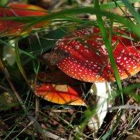 Грибки-грибочки :: Виктор Х.