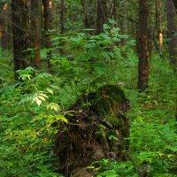 В лесу. :: Владимир Лазарев