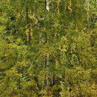 желтизна пробила - осень наступила :: petyxov петухов