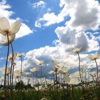 Ветреница в лугах цветет :: Екатерина Торганская