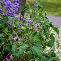 Помидор на цветочной клумбе :: andrey