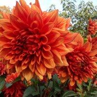 Цветы осени Георгин :: kuta75 оля оля