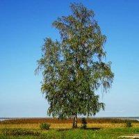 Одинокая берёзка на берегу залива :: Маргарита Батырева