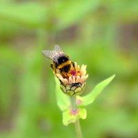 Пчелка :: Марина Романова