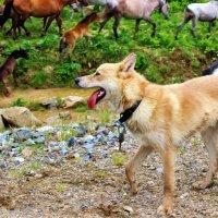 Строгий пастух :: Сергей Чиняев