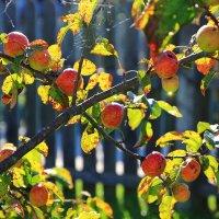 Осенних яблок аромат... :: Иван