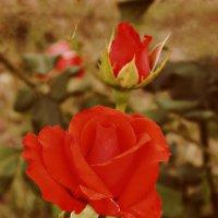 Нежность розы алой. :: *MIRA* **