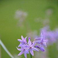 Голубые цветики. :: Оля Богданович