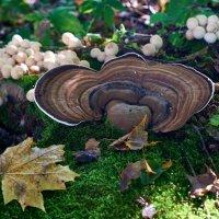Гриб и грибы :: НикЛеод
