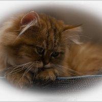 Всё та же Шиншилла-из серии Кошки очарование мое! :: Shmual Hava Retro