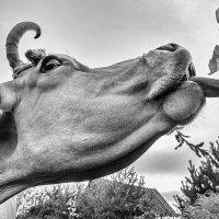 Снова слизнёт, как корова языком :: Ирина Данилова