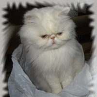 Я - пушистый, беленький котенок. :: Чария Зоя