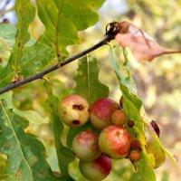 это не яблоки..это больные листья :: Андрей Дружинин
