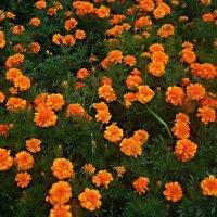 Ковер осенних цветов :: Елена Семигина