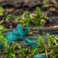 Хлороцибория сине-зеленая :: Va-Dim ...