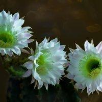 Чем острее колючки, тем заманчивей цвет. :: Сергей Бурлакин