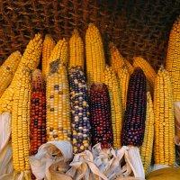 Такая разная кукуруза :: татьяна петракова