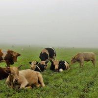 Быки в поле :: Сергей Чиняев
