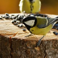 синицы :: linnud