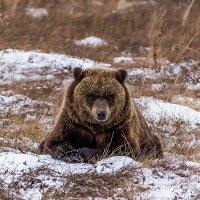Отдыхающий медведь. :: Юрий Харченко