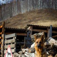 Пёс Дун Дук на фоне не колотых дров     Начало зимовки ´14-15 :: Алексей (АСкет) Степанов