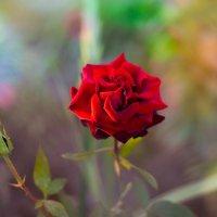 Роза :: Марина Романова