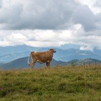 Философская корова. Карпаты. :: Ирина Краснобрижая