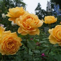 роза Golden Celebration® :: lenrouz