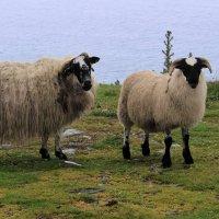 Ирландские овцы :: Елена