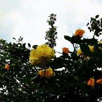 Роза-вьюшка на высоте трёх метров :: Владимир Болдырев