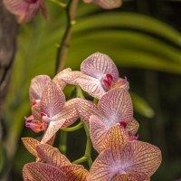 Орхидеи :: Sergey Lebedev