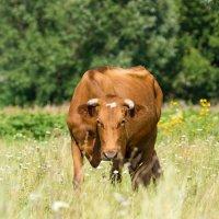 Корова на лугу :: Alex Bush