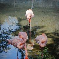 Алматинский зоопарк. Розовые фламинго (3/3) :: Асылбек Айманов