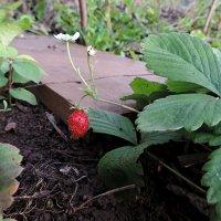 Первые ягодки в сентябре. :: bemam *