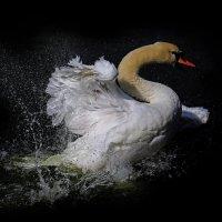 Лебедь :: Михаил Бибичков