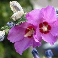 Гибискус завершает цветение :: Татьяна Смоляниченко