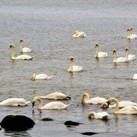 Лебеди на побережье Балтики :: Сергей Крошин