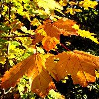 Золотистые листья клена :: Елена Семигина