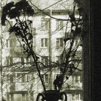 Хризантемы :: Taisia_ZX