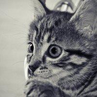 кошка Мурыська :: Olena