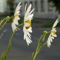 осенние ромашки :: Alla Swan
