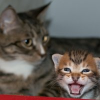 Эй малыш, не стой так близко. Я тигрёнок, а не киска! :: Сергей Бойко