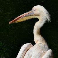розовый пеликан :: Сергей Короленко